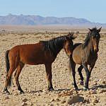 Namibia – Wild Horses of Garub