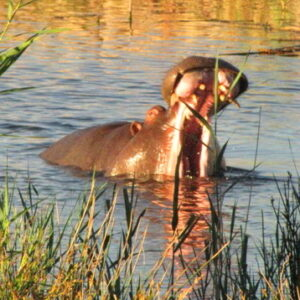 Karoo Gariep hippo_website