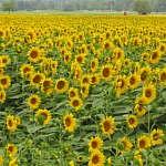 A sunflower goodbye