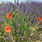 Lavender rewind